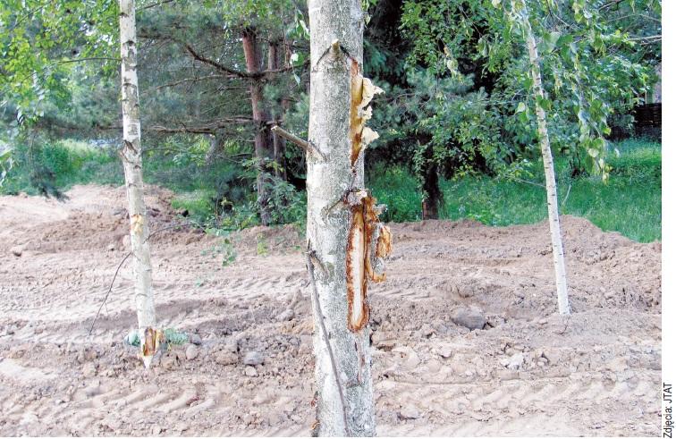 Zasypane drzewa w Konstancinie